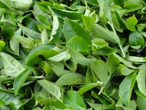 waarom is groene thee gezond
